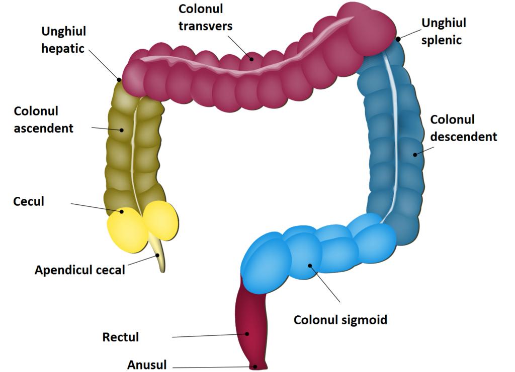 Anatomia colonului